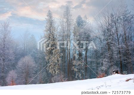 forest on a misty morning. trees in hoarfrost. beautiful winter scenery in foggy weather 72573779
