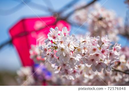櫻花燈籠春天形象 72576848