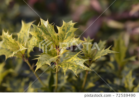 Holly osmanthus Tricolor 72589490