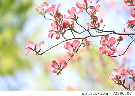 桃紅色山茱萸和藍天 72596305