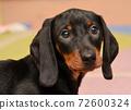 dachshund puppy portrait 72600324