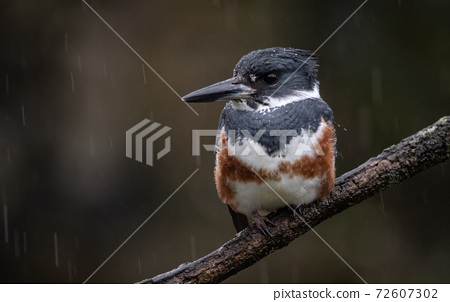 Belted Kingfisher Portrait  72607302