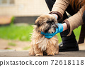 Woman in gloves with funny shih tzu dog on city street 72618118