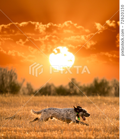 Pointer pedigree dog running in the field against the sun 72620150