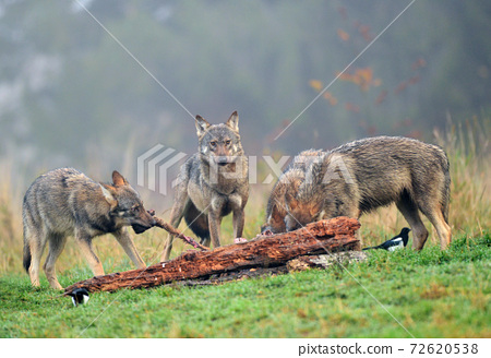 Gray wolf (Canis lupus) 72620538