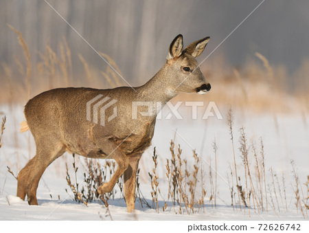 Roe deer (Capreolus capreolus) 72626742