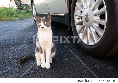 funny domestic black and white cat 72628316