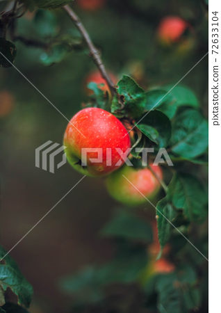apple garden with apples and green leaves. 72633104