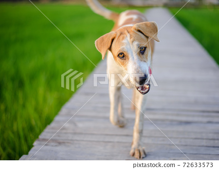 A dog walking on a wooden bridge 72633573