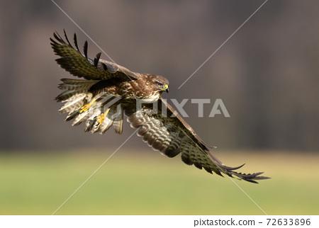 Common buzzard (Buteo buteo) 72633896