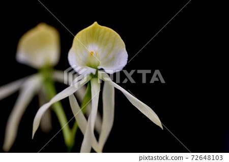 罕見的蘭花花,看起來像外星人 72648103
