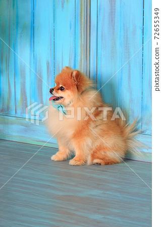 Beautiful pomeranian puppy sitting on wooden floor 72655349