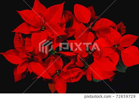 聖誕節花一品紅 72659729
