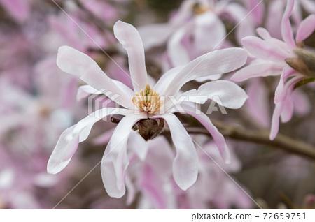 spring magnolia flowers 72659751