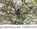 Superb starling on a tree in the Serengeti 72664109