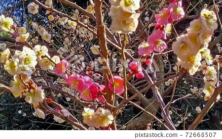 Fuchu City, Tokyo Local forest plum grove, pink buds and flowers 72668507