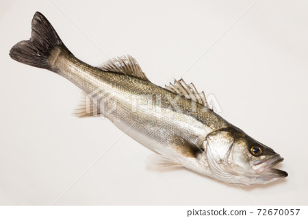 鈴木鱸魚白色背景白色背景白色背景工作室拍攝 72670057
