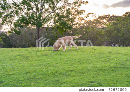 Little golden retriever puppy wandering at the park 72673866