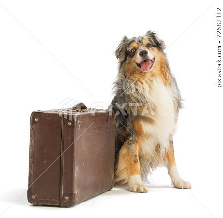 Australian shepherd blue merle with suitcase 72682112
