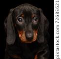 dachshund puppy on the black background 72685621