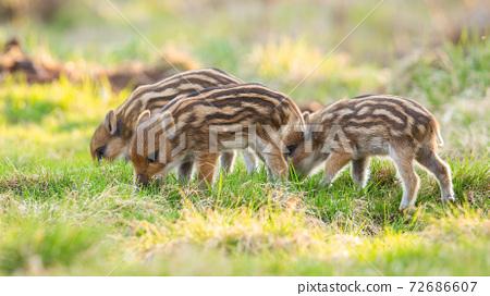 Little wild boar piglets feeding on meadow in springtime nature 72686607