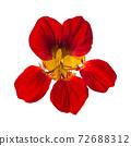 Red nasturtium flower isolated on white background 72688312