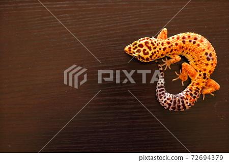 Leopard gecko leopard gecko 72694379