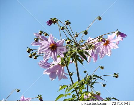 푸른 하늘에 우뚝 솟은 코우테이다리아 분홍색의 꽃 72710945