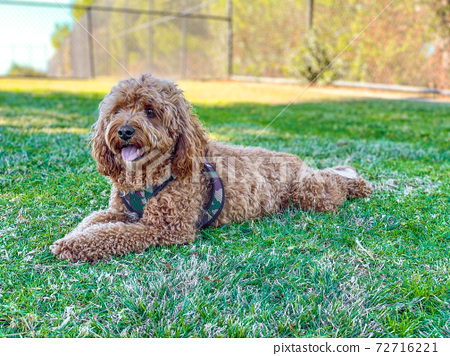 Cavapoo dog in the park 72716221