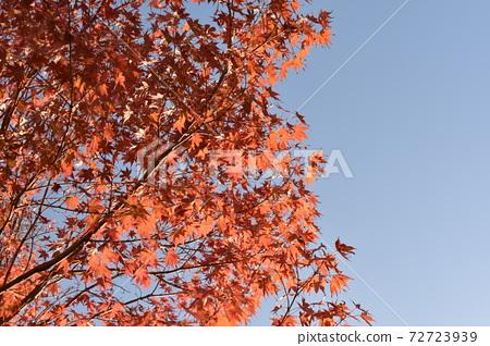푸른 하늘과 선명한 단풍 72723939