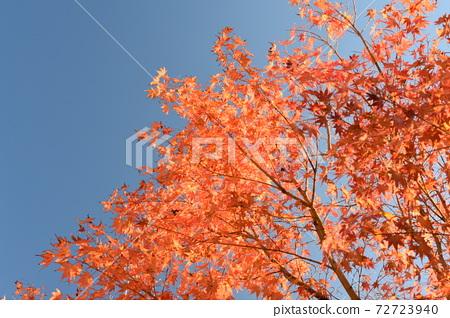 푸른 하늘과 선명한 단풍 72723940