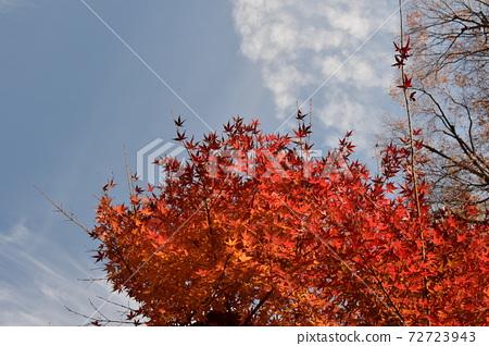 푸른 하늘과 선명한 단풍 72723943