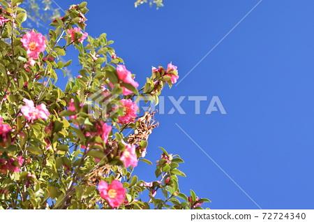 푸른 하늘과 올리브 꽃 72724340