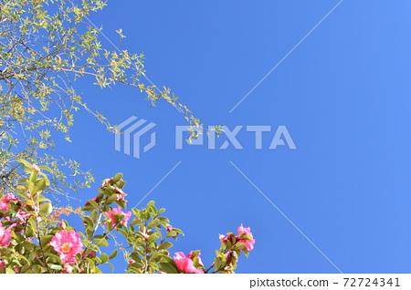 푸른 하늘과 올리브 꽃 72724341