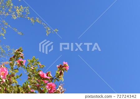 푸른 하늘과 올리브 꽃 72724342