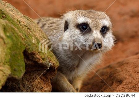 狐獴 Meerkat(Suricata suricatta)在台灣動物園。 72729044