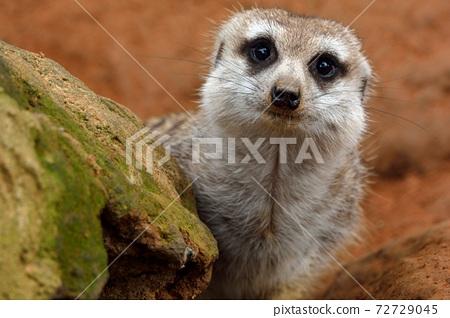 狐獴 Meerkat(Suricata suricatta)在台灣動物園。 72729045
