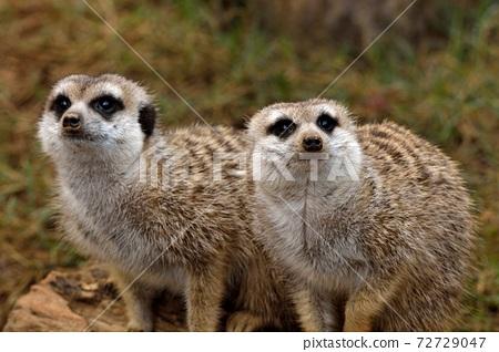 狐獴 Meerkat(Suricata suricatta)在台灣動物園。 72729047