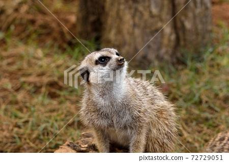 狐獴 Meerkat(Suricata suricatta)在台灣動物園。 72729051