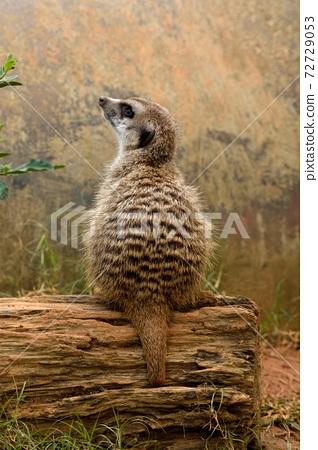 狐獴 Meerkat(Suricata suricatta)在台灣動物園。 72729053