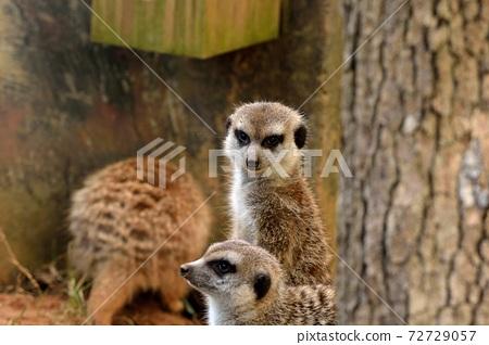 狐獴 Meerkat(Suricata suricatta)在台灣動物園。 72729057