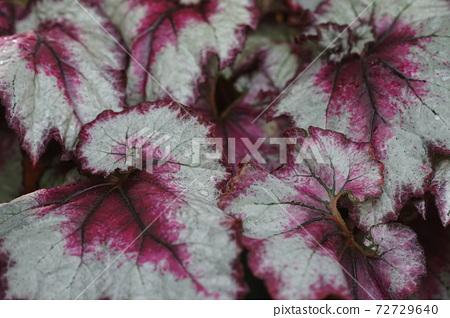 12 월 쵸후 766 뿌리 줄기 가능 베고니아 (렉스 베고니아)의 다양한 잎 베고니아과 · 진다이 식물 공원 72729640