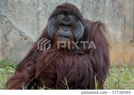 猩猩屬(Pongo)在台灣動物園。 72730499