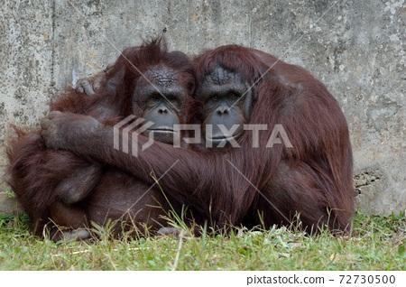 猩猩屬(Pongo)在台灣動物園。 72730500