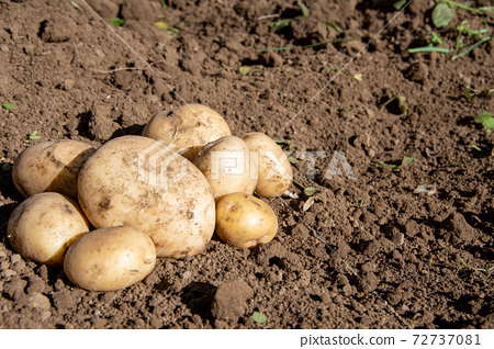 텃밭에서 수확 한 감자 레프트 72737081