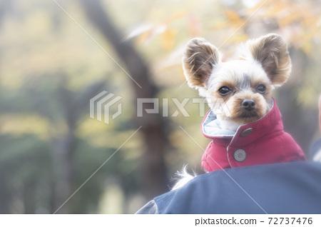단풍 공원과 빨간 조끼를 입은 요크셔 테리어 72737476