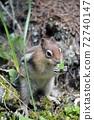 chipmunk close up eating 72740147