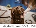 chocolate lab dog 72740150