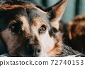 close-up brown and black dog 72740153