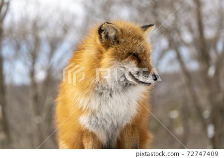 雪和北狐狸形象北海道 72747409